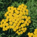 Tanacetum: Buttons Of Gold and Life Eternal